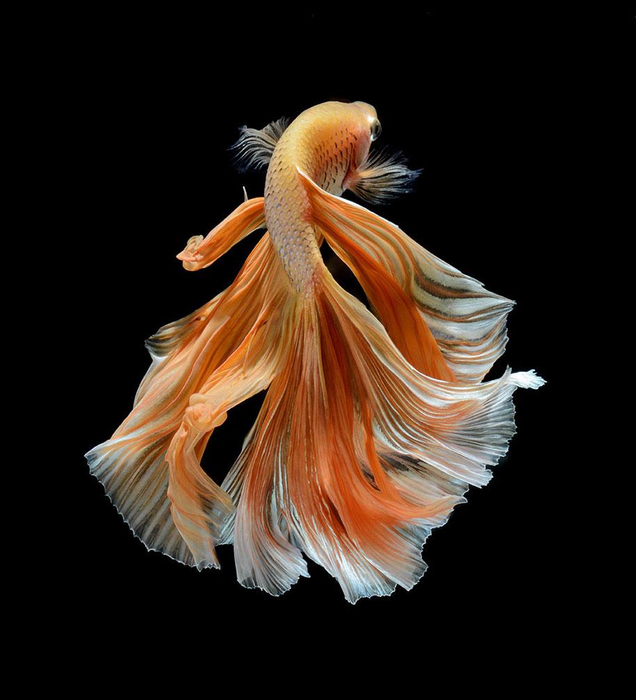 siamese-fighting-fish-photography-visarute-angkatavanich-27