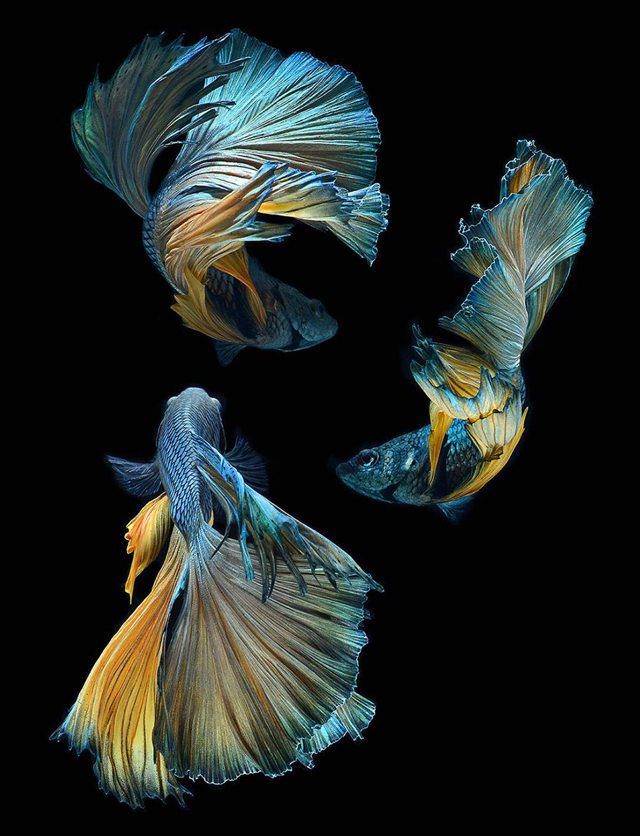 Hypnotizing portraits of siamese fighting fish by visarute for Beta fish water