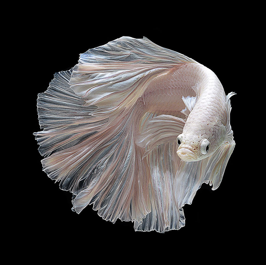 Hypnotizing portraits of siamese fighting fish by visarute for All about betta fish