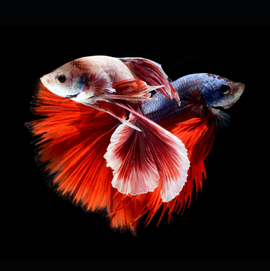 hypnotizing portraits of siamese fighting fish by visarute