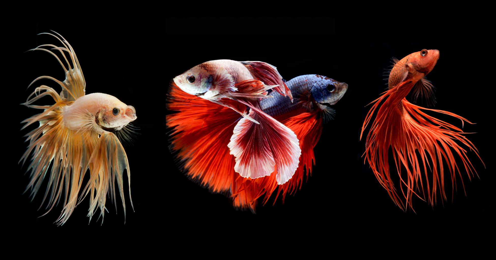 Hypnotizing Portraits Of Siamese Fighting Fish By Visarute Angkatavanich