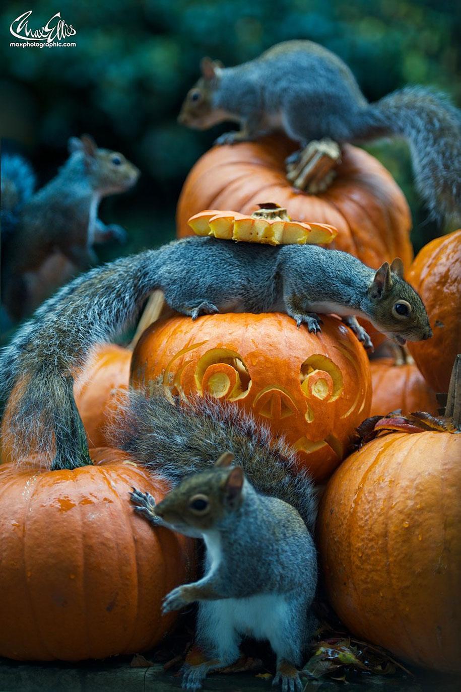 squirrel-pumpkin-funny-photography-max-ellis-5