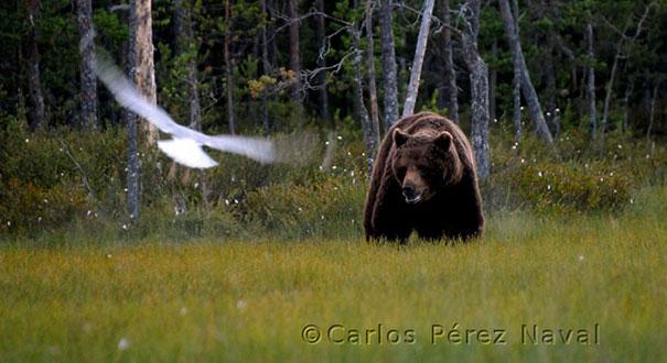wildlife-photography-carlos-perez-naval-13