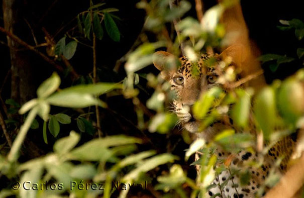 wildlife-photography-carlos-perez-naval-7