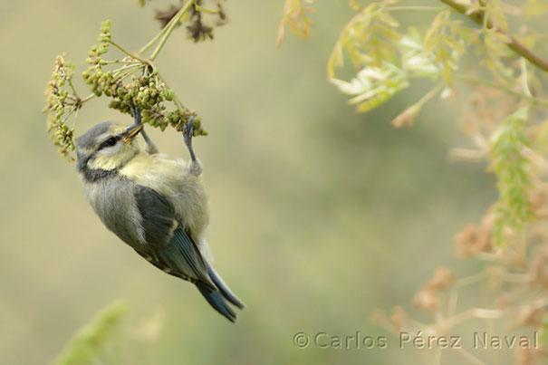 wildlife-photography-carlos-perez-naval-9
