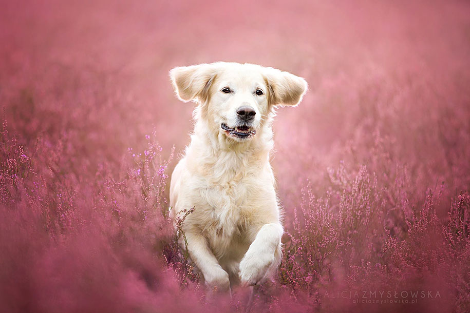 animals-dog-photography-alicja-zmyslowska-14