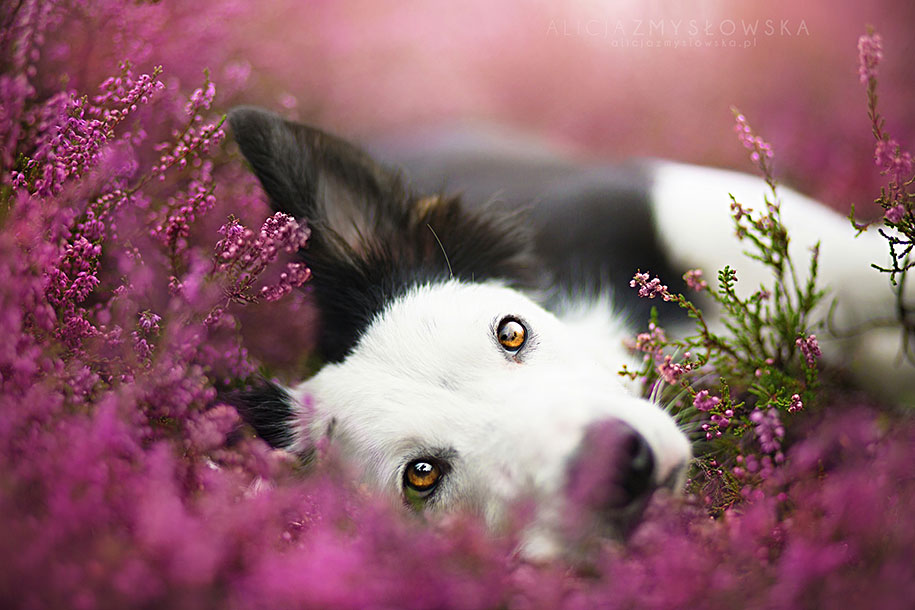 animals-dog-photography-alicja-zmyslowska-4