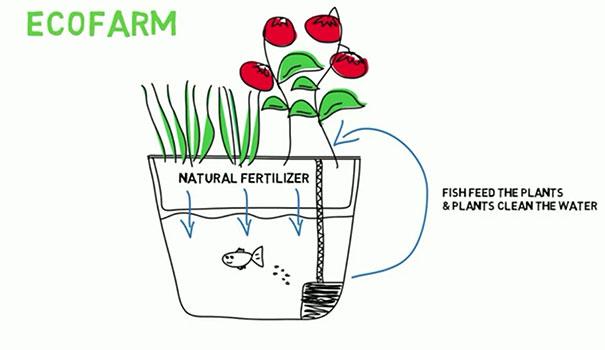 ecofarm-aquaponic-food-production-aquaculpture-hydroponics-fish-tank-1