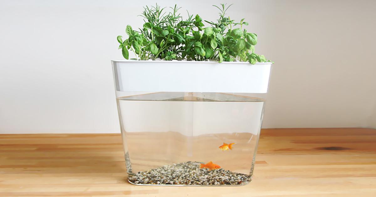 Ecofarm this stylish aquarium uses fish waste to grow for Aquaponics fish tank kit