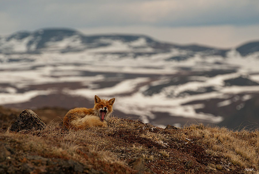 wild-foxes-photography-ivan-kislov-14
