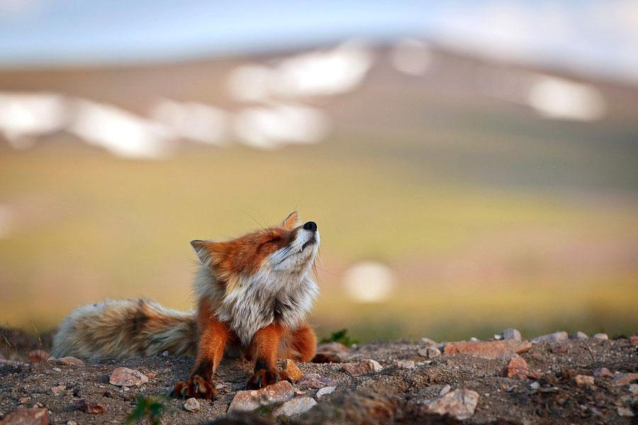 wild-foxes-photography-ivan-kislov-18