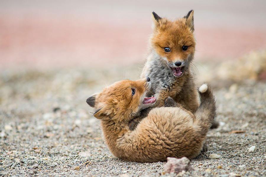 wild-foxes-photography-ivan-kislov-19