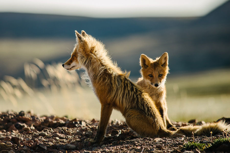 wild-foxes-photography-ivan-kislov-2