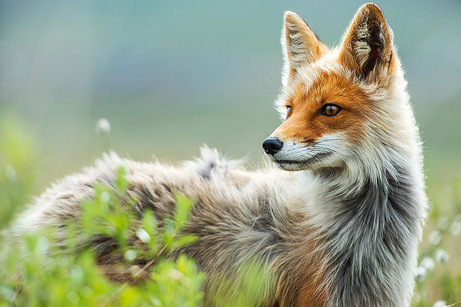 wild-foxes-photography-ivan-kislov-23