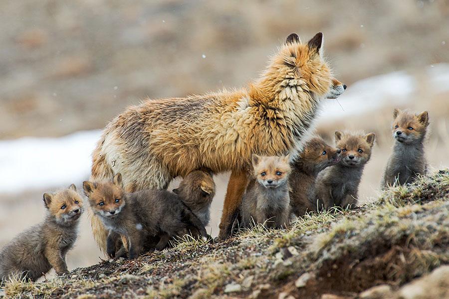 wild-foxes-photography-ivan-kislov-24