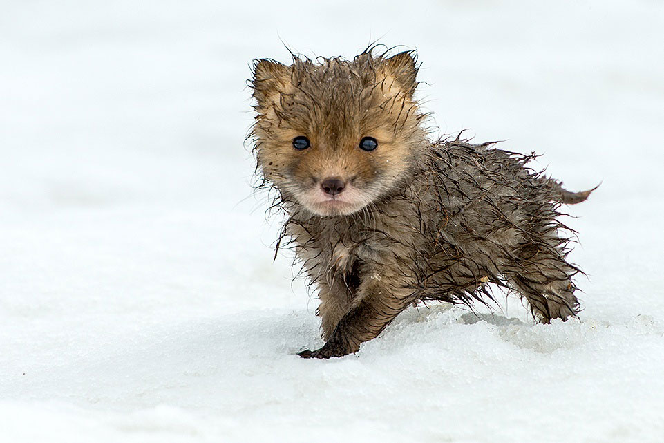 wild-foxes-photography-ivan-kislov-25