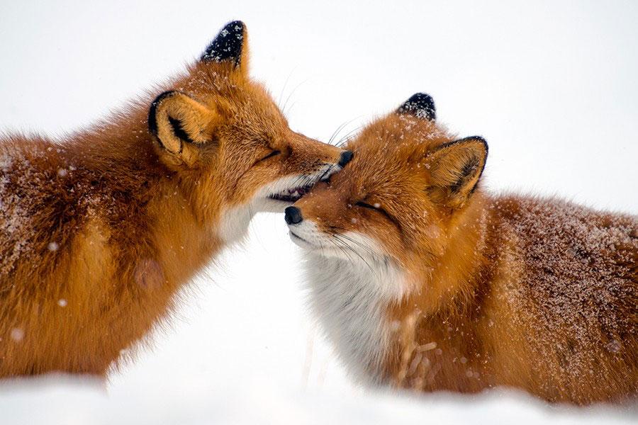 wild-foxes-photography-ivan-kislov-26