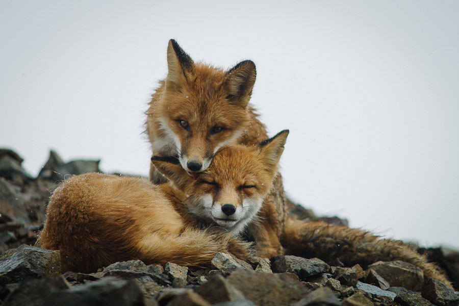 wild-foxes-photography-ivan-kislov-27