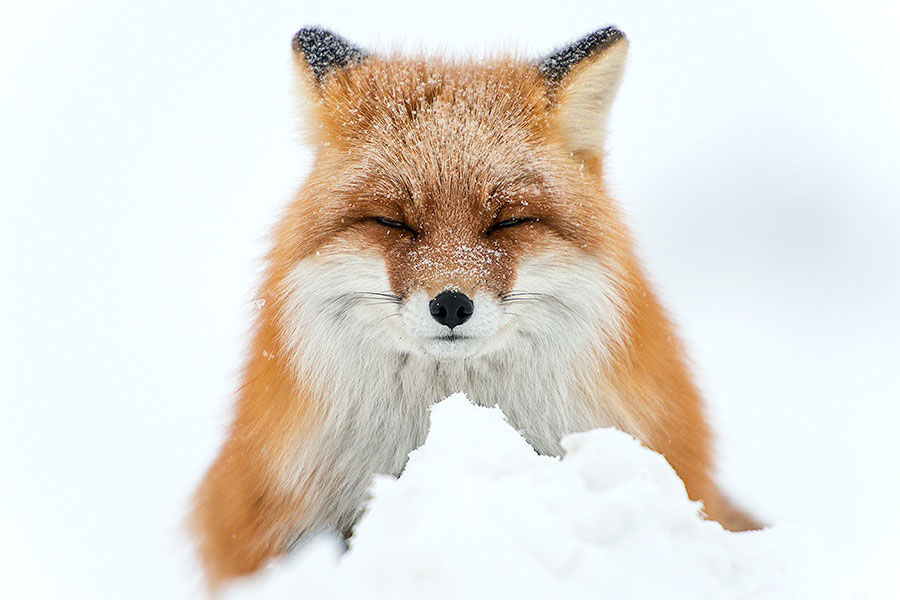 wild-foxes-photography-ivan-kislov-28