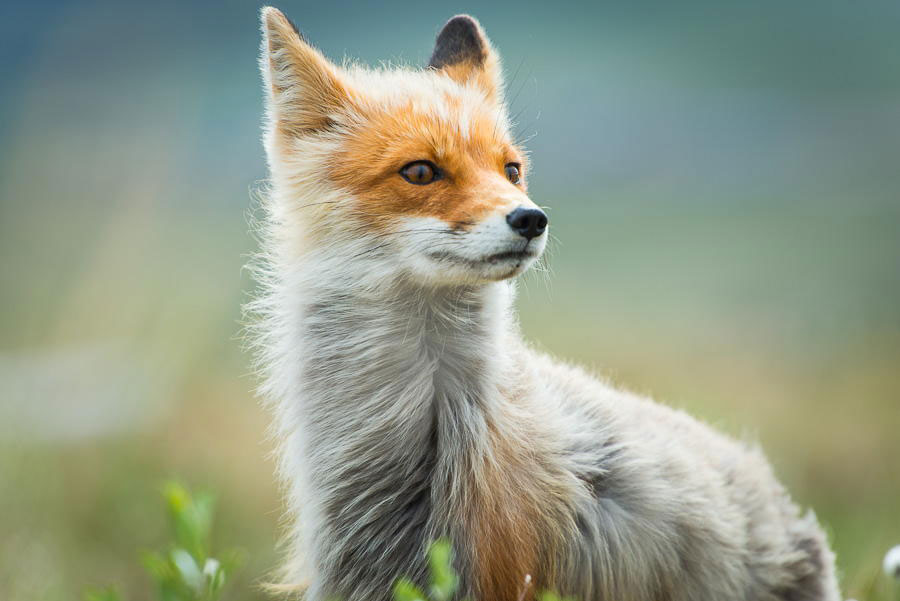 wild-foxes-photography-ivan-kislov-3