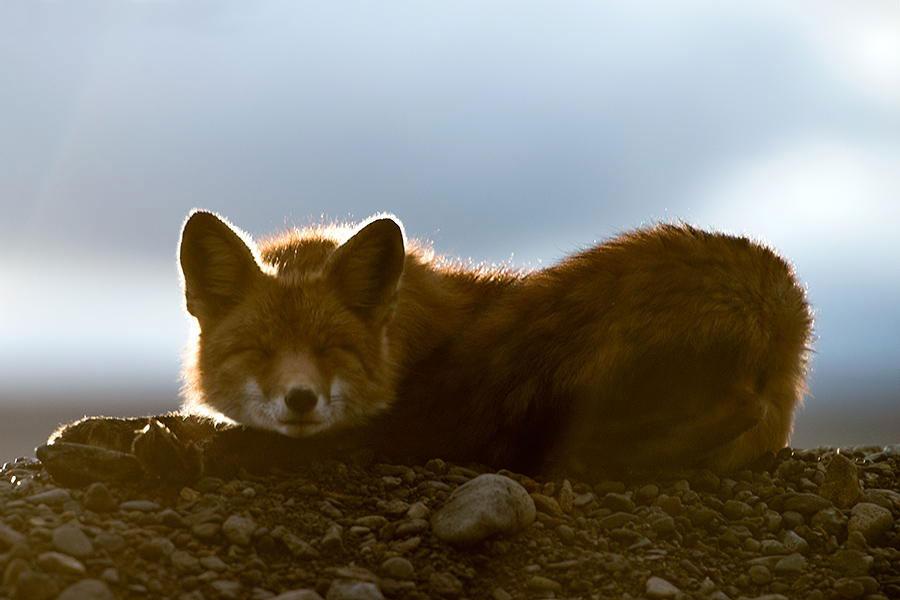 wild-foxes-photography-ivan-kislov-5