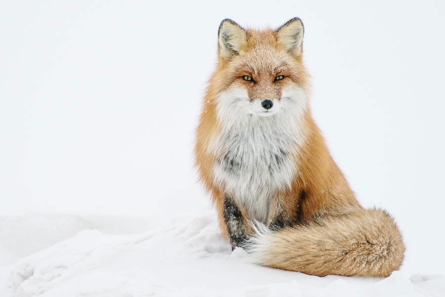 wild-foxes-photography-ivan-kislov-6