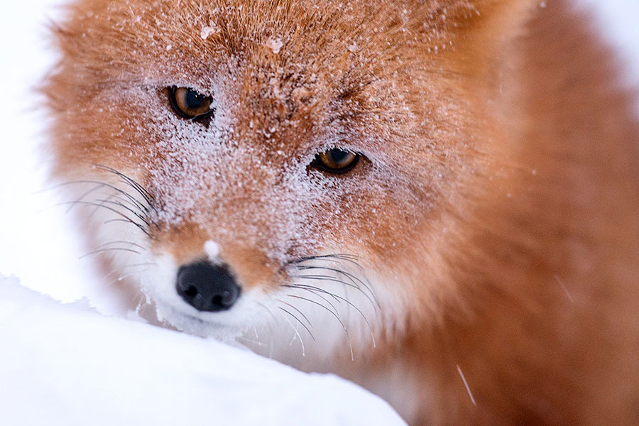 wild-foxes-photography-ivan-kislov-7
