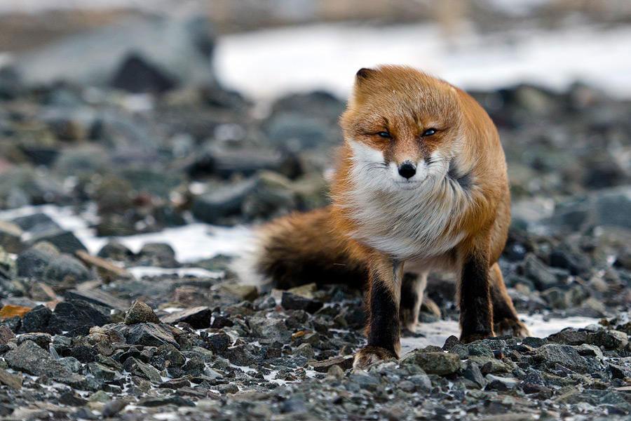 wild-foxes-photography-ivan-kislov-8