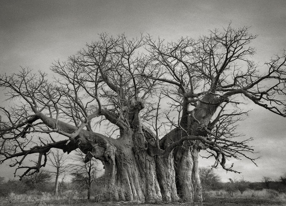 ancient-trees-portraits-of-time-nature-photography-beth-moon-16