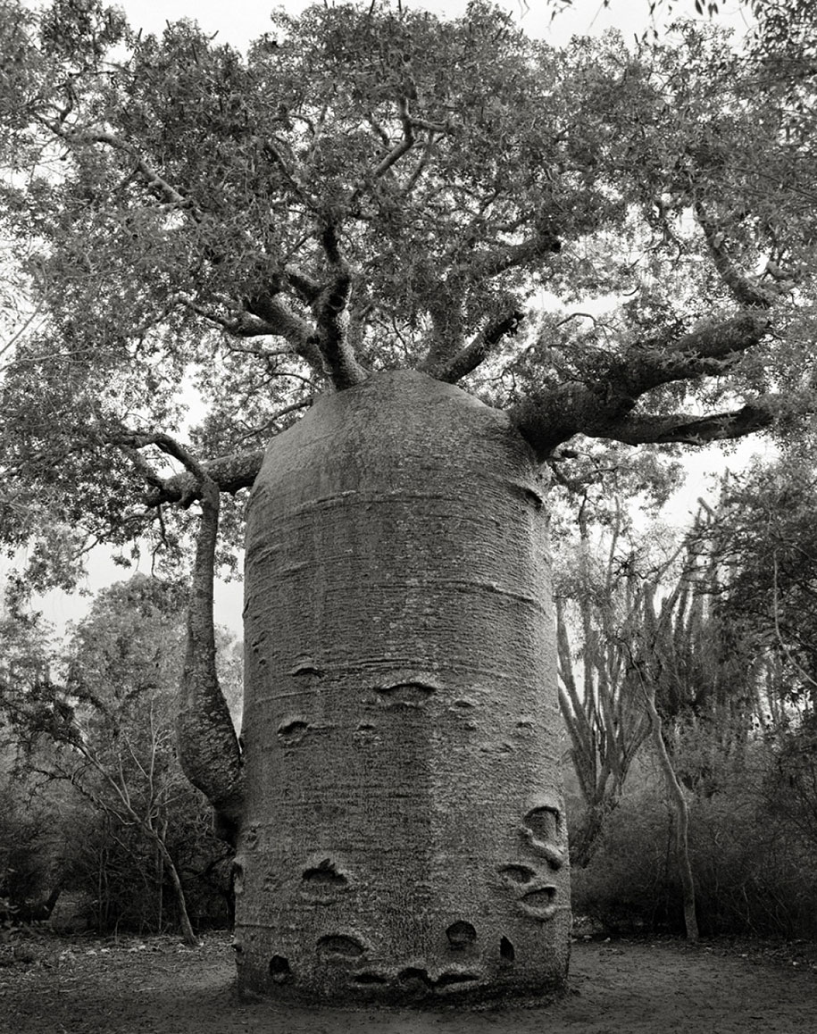 ancient-trees-portraits-of-time-nature-photography-beth-moon-3