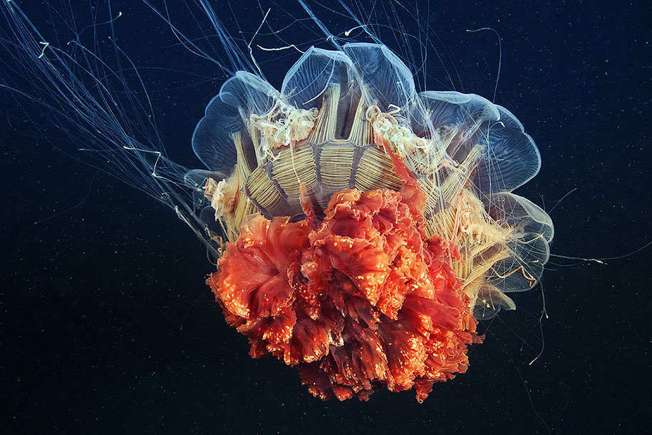 jellyfish-underwater-photography-alexander-semenov-1