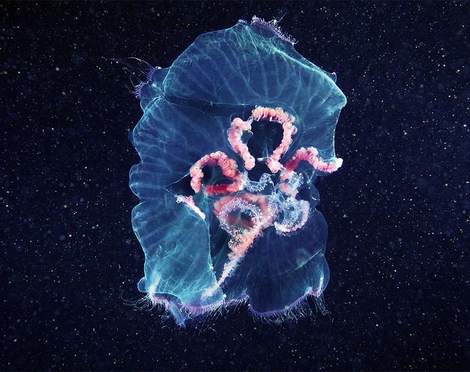 jellyfish-underwater-photography-alexander-semenov-11