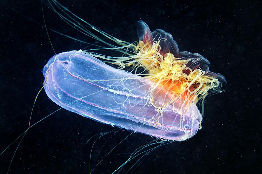 jellyfish-underwater-photography-alexander-semenov-12