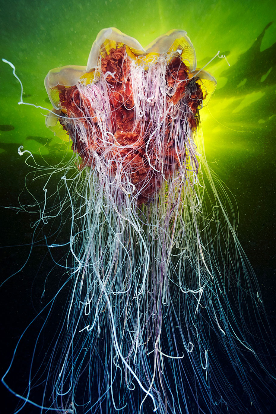 Underwater Jellyfish Photography Mesmerizing Jel...