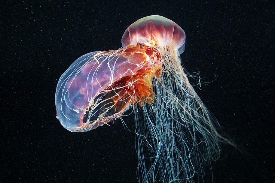 jellyfish-underwater-photography-alexander-semenov-23