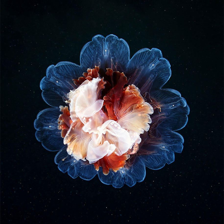 mesmerizing jellyfish photography by alexander semenov