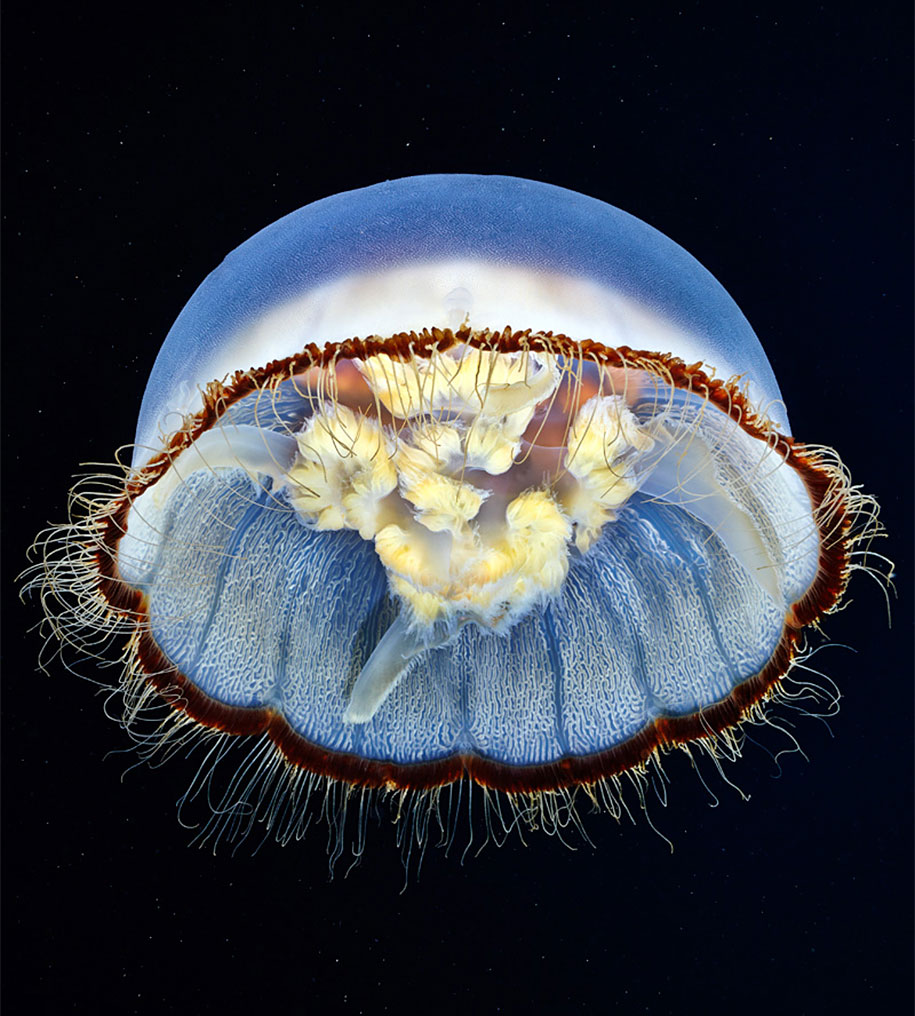 Underwater Jellyfish Photography Alexander Semen...