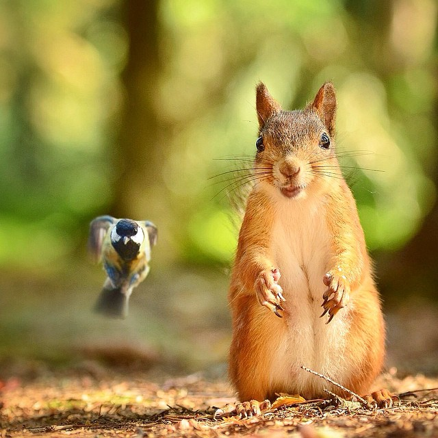 finnish-wildlife-feeding-squirrel-whisperer-konsta-punkka-23