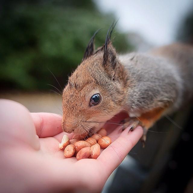 finnish-wildlife-feeding-squirrel-whisperer-konsta-punkka-24