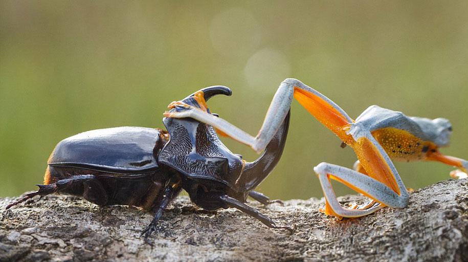 frog-beetle-rodeo-hendy-mp-5