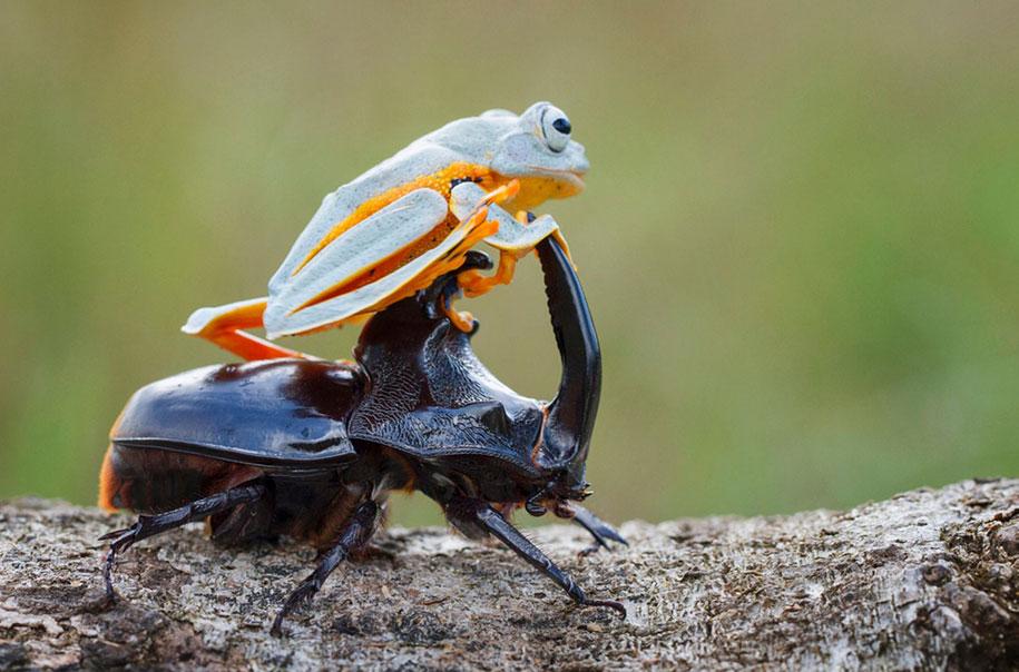 frog-beetle-rodeo-hendy-mp-7