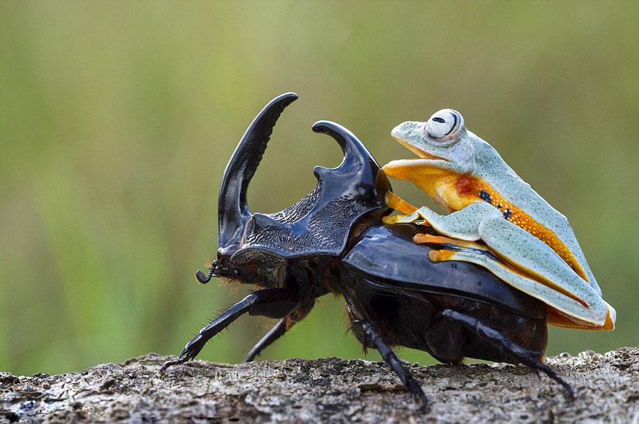 frog-beetle-rodeo-hendy-mp-8