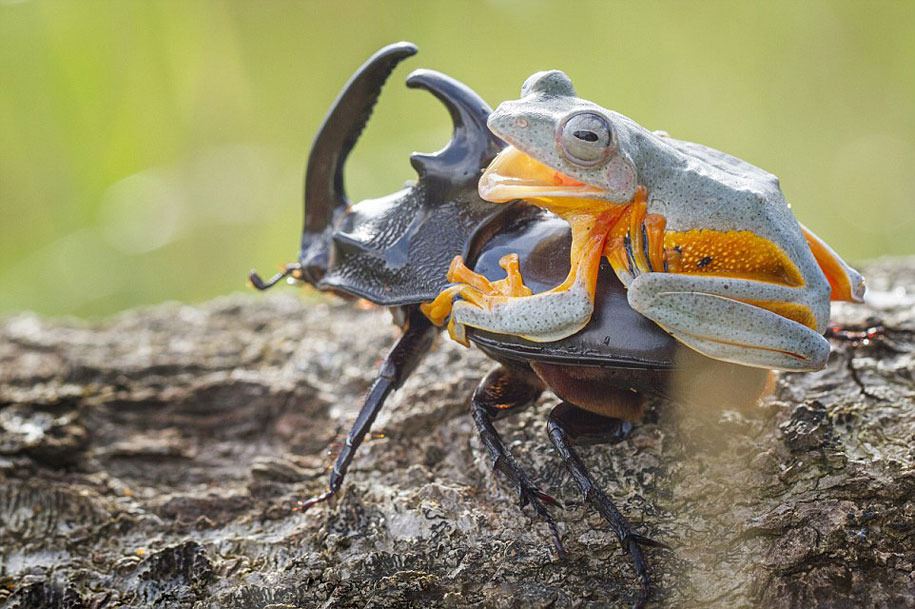 frog-beetle-rodeo-hendy-mp-9