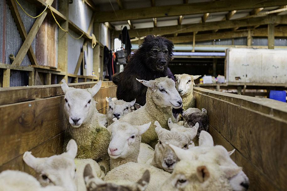 working-dog-animals-shepherds-realm-andrew-fladeboe-14