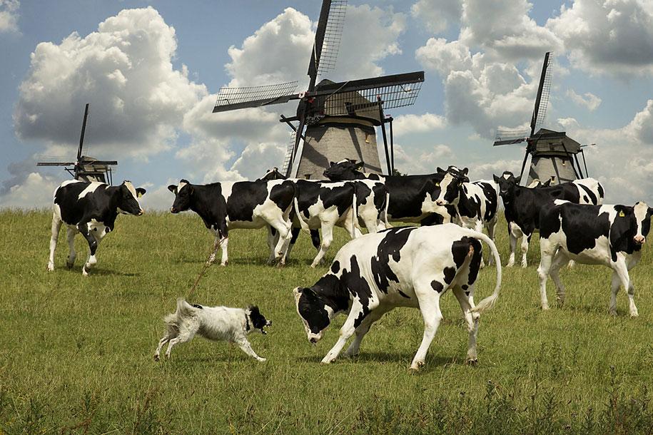 working-dog-animals-shepherds-realm-andrew-fladeboe-9