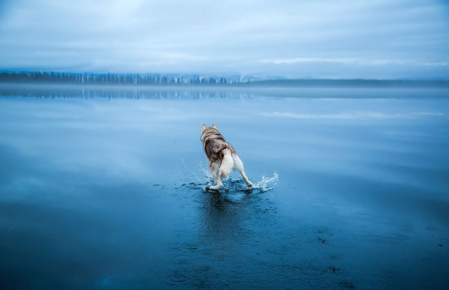 photography-dogs-siberian-husky-frozen-lake-fox-grom-1
