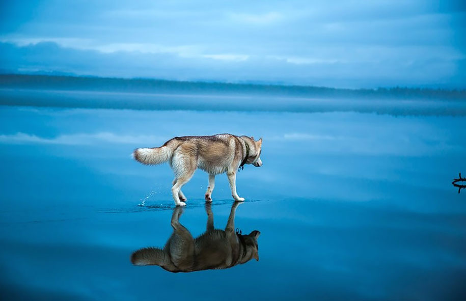photography-dogs-siberian-husky-frozen-lake-fox-grom-10