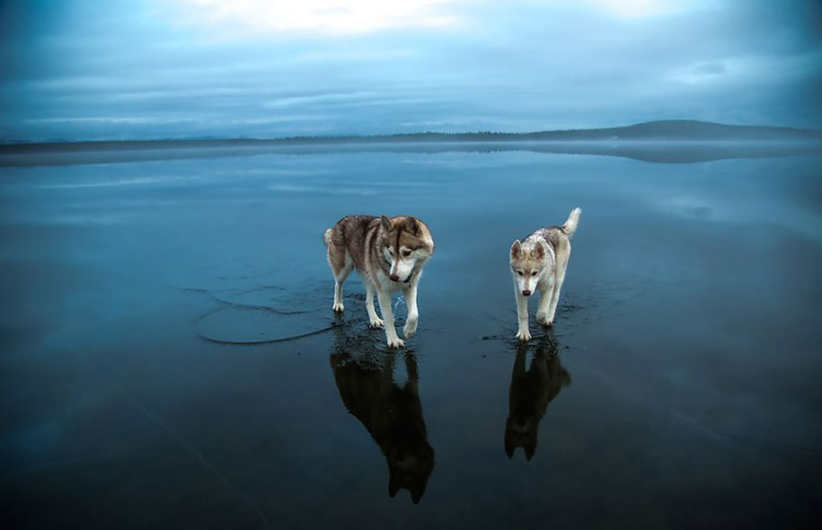 photography-dogs-siberian-husky-frozen-lake-fox-grom-2