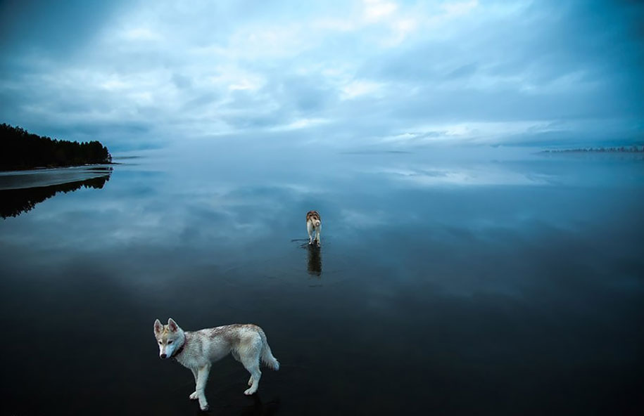 photography-dogs-siberian-husky-frozen-lake-fox-grom-3