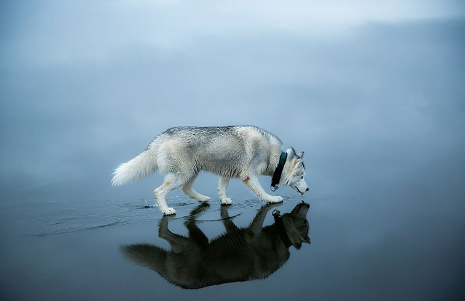 photography-dogs-siberian-husky-frozen-lake-fox-grom-6